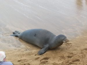A monk seal, Hawaii's official state mammal. relaxes in the sand near Maui Beach Vacation Club